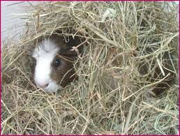 Newspaper Bedding Bedding For Guinea Pigs
