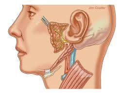 Parts Of The Face Anatomy Anatomy Middle Ear Choice Image Learn Human Anatomy Image