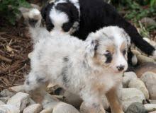 australian shepherd up for adoption winnipeg australian shepherd dogs puppies for sale classifieds