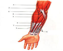 human anatomy chart page 71 of 202 pictures of human anatomy body