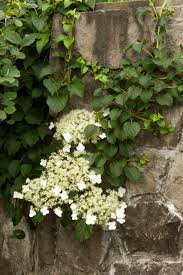 Tree Climbing Plants Climbing Hydrangea Monrovia Climbing Hydrangea