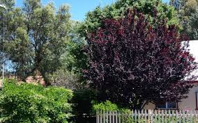 deciduous trees for smaller gardens lakeside plants nursery