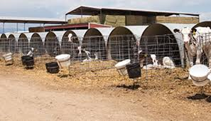 Calf Raising Barns Calf Barns Can Equal Hutches