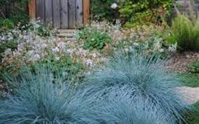 festuca ovina glauca blue fescue 2 5 quart ornamental grass
