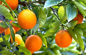 how do i care for a navel orange tree with pictures