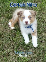 australian shepherd breeders dakota rose aussies australian shepherd puppies aussies