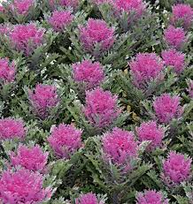 crane feather ornamental kale seeds