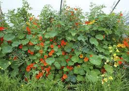 organic edible flowers 39 best nasturtiums growing using organic edible flowers at