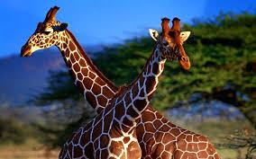giraffe wallpapers amazing high resolution giraffe pictures