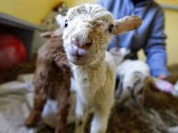 belgian sheepdog craigslist four legged friends and enemies february 2014