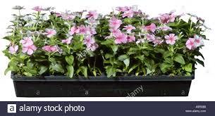 Vinca Flowers Pink Impatiens Vinca Flowers Stock Photo Royalty Free Image