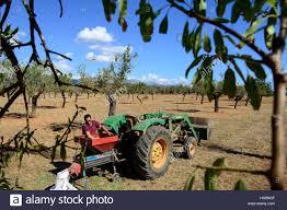 Trashing by Spain Mallorca Binissalem Finca Biniagual Almond Trees Almond