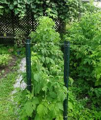 Rasberry Trellis Backyard Berries For Delight