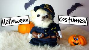 cute puppy sized chihuahua funny halloween photoshoot youtube