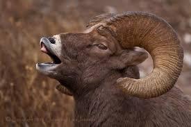 ram spirit animals defensive edition turf show times