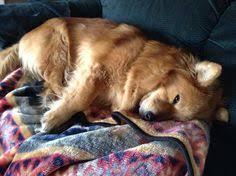 belgian sheepdog golden retriever mix gilbert az golden retriever corgi mix meet alfie a dog for