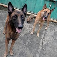 belgian sheepdog for sale philippines for sale belgian malinois dumaguete info