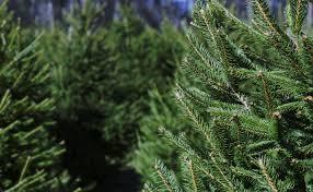 christmas tree history why do we decorate trees lovell tree farm