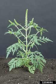 flagstaff native plant and seed ragweed u2014 northern arizona invasive plants