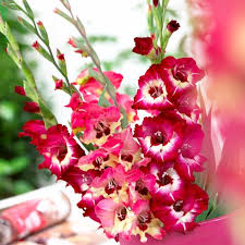 Gladiolus Flowers All About Gladiolus