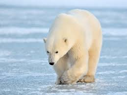 the polar bears are fine certain populations coping with a