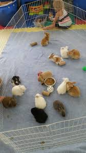 best 25 holland lop ideas on pinterest holland lop bunnies