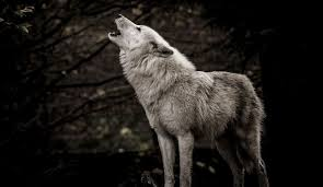 yellowstone 10 000 reward offered in of white wolf