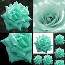 teal roses 200 mint green seeds butterflies garden flower