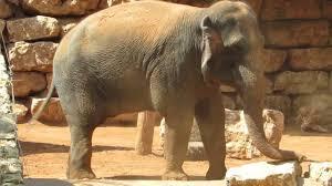 tisch family zoological gardens elephant at the zoo in jerusalem الفيل في حديقة الحيوان في القدس