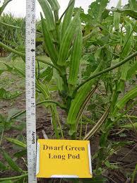 Okra Plant Diseases - 2004 okra variety trials