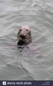 atlantic grey seal in chatham harbor cape cod massachusetts