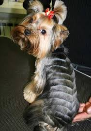 chorkie haircut styles yorkie haircuts 100 yorkshire terrier hairstyles pictures