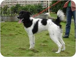 belgian shepherd x greyhound greyhound australian shepherd mix