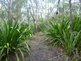 Lily Plant Growing Gymea Lilies Gardening With Angus