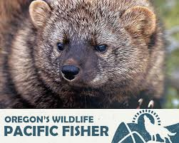 Oregon wild animals images Love the forest save the fisher oregon wild jpg