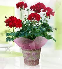 potted flowers wfgarden rakuten global market geranium calliope no 5