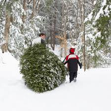minnesota grown christmas trees find local christmas trees