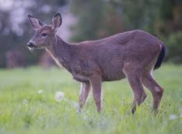 When Do Deer Shed Their Antlers by Bellingham Considers Ban On Feeding Wild Deer In City Limits The