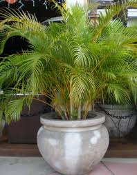the areca palm also known as butterfly palm palm madagascar