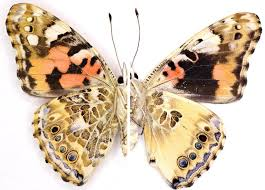 genes color a butterfly s wings now scientists want to do it