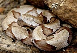 How To Find Snakes In Your Backyard Copperhead Snakes Engage In Nightly Summertime Feeding