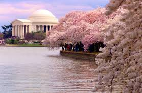 washington d c cherry blossoms and real estate on the