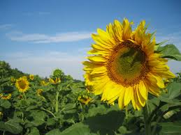 sunflower wallpapers sunflower wallpaper ibackgroundwallpaper
