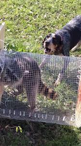 training a bluetick coonhound to hunt bluetick coonhound training gun dogs texas hunting forum