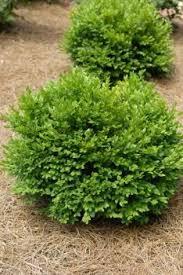 10 best small evergreen shrubs evergreen shrubs shrub and evergreen
