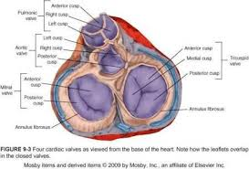 Anatomy Of Heart Valve The Heart And Circulatory System
