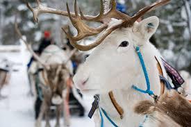 reindeer safari in lapland scandic hotels