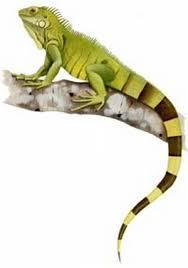 imágenes de iguanas verdes alimentos básicos para las iguanas verdes