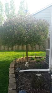 the 25 best dwarf lilac tree ideas on pinterest dwarf lilac