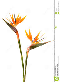 birds of paradise flower bird of paradise flower stock photo 4606208 megapixl